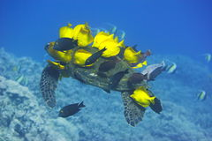 Green Sea Turtle being cleaned Stock Photography