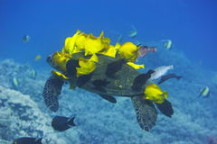 Green Sea Turtle being cleaned Royalty Free Stock Photo