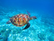 Green sea turtle in sea. Big green sea turtle closeup. Wild nature marine species. Royalty Free Stock Photos