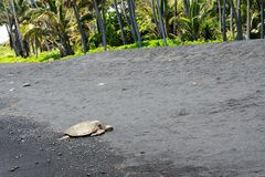 Green sea turtle on a black sand beach, Big Island, Hawaii Royalty Free Stock Photography