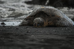 Green sea turtle black sand Royalty Free Stock Image