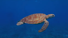 Green sea turtle. In blue water Royalty Free Stock Image