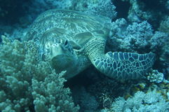 The Green sea turtle Stock Image