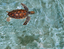 Green Sea Turtle, Cayman Island Stock Images