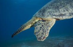 GREEN SEA TURTLE/cheilonia mydas royalty free stock image