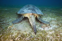 GREEN SEA TURTLE/cheilonia mydas stock photography