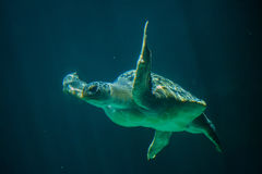 Green sea turtle Chelonia mydas Royalty Free Stock Image