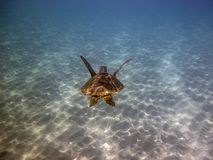 Green sea turtle,Chelonia mydas Stock Images