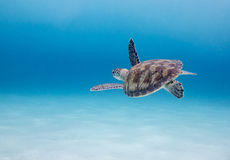 Green Sea Turtle (Chelonia mydas) in an empty blue ocean Royalty Free Stock Photography