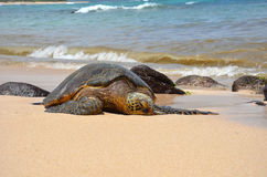 Green sea turtle (Chelonia mydas). Giant green sea turtle (Chelonia mydas) lying in the sand on the beach Royalty Free Stock Images