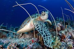 Green sea turtle, Chelonia mydas , feeding Stock Image