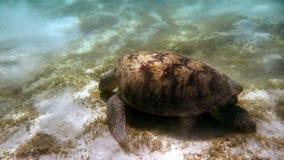 Green sea turtle (Chelonia mydas). Red Sea, Egypt. Royalty Free Stock Photos