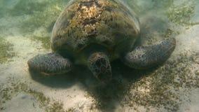 Green sea turtle (Chelonia mydas). Red Sea, Egypt. Royalty Free Stock Photography