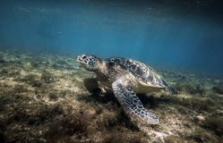 Green sea turtle Chelonia mydas resting in sea grass underwater royalty free stock image