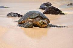Green sea turtle (Chelonia mydas). A single green sea turtle lying on a sand covered beach Stock Photography