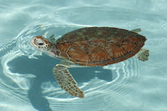 Green sea turtle (Chelonia mydas) Stock Photo
