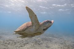 Green sea turtle swimming in the tropical sea stock photography