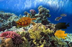 Green sea Turtle Chelonia. Swiming over Coral Reef, Red Sea, Egypt Stock Photos