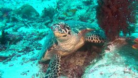 Green sea turtle on clean clear seabed underwater in Maldives. stock footage