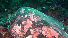 Green sea turtle on clean clear seabed underwater in Maldives. stock video footage