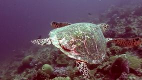 Green sea turtle on clean clear seabed underwater in Maldives. stock video