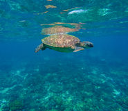Green sea turtle close photo. Royalty Free Stock Image