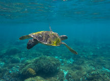 Green sea turtle close photo in ocean depth. Sea turtle closeup. Stock Image