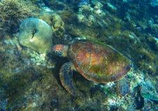 Green sea turtle close photo in ocean lagoon. Sea turtle eating seaweed. Stock Photos