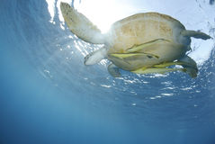 Green Sea turtle close to the ocean surface. Stock Photo