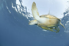 Green Sea turtle close to the ocean surface. Stock Image