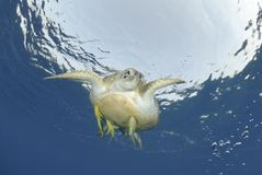 Green Sea turtle close to the ocean surface. Stock Images