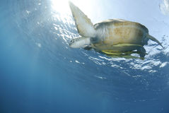 Green Sea turtle close to the ocean surface. Royalty Free Stock Photography