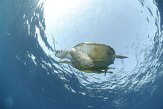 Green Sea turtle close to the ocean surface. Royalty Free Stock Images