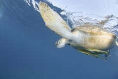 Green Sea turtle close to the ocean surface. Stock Photos
