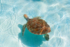 Green sea turtle. Close-up. Green sea turtle in water. Close-up Royalty Free Stock Photography