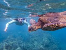Green Sea Turtle Close Up Profile with Snorkeler in Background royalty free stock photo