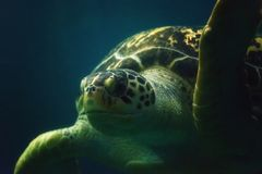Green Sea Turtle Close up Royalty Free Stock Photo
