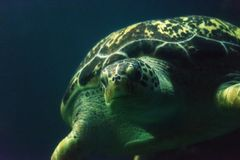 Green Sea Turtle Close up Stock Images