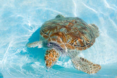 Green sea turtle. Close-up. Green sea turtle in water. Close-up Stock Image