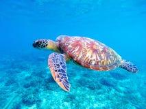 Green sea turtle closeup. Big green sea turtle closeup. Marine species in wild nature. Royalty Free Stock Photo