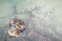 Green sea turtle.Colombia. Royalty Free Stock Photos