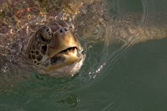 Green Sea Turtle Coming Up For Air. Green Sea Turtle Surfaces For Air Stock Photos