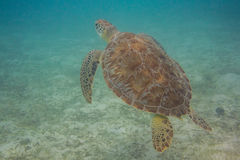 Green Sea Turtle Coming Up for Air. A green seat turtle stops eating to go to the surface for air stock photos