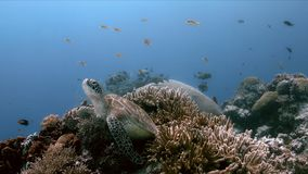 Green Sea Turtle on a coral reef with Anthias and Sweetlips stock image