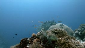 Green Sea Turtle on a coral reef with Anthias and Sweetlips stock images