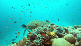 Green Sea turtle on a Coral reef 4K. Green Sea turtle on a colorful coral reef with plenty fish. 4k footage stock video footage