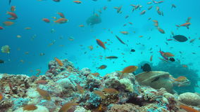 Green sea turtle on a coral reef 4k. Green Sea turtle on a colorful coral reef with plenty fish. 4k footage stock footage