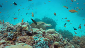 Green sea turtle on a coral reef 4k. Green Sea turtle on a colorful coral reef with plenty fish. 4k footage stock video