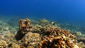 Green Sea turtle on a Coral reef 4K. Green Sea turtle on a Coral reef. 4k footage stock video footage