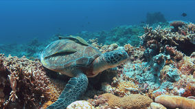 Green Sea turtle on a Coral reef. Green Sea turtle with two Sharksuckers on a colorful coral reef stock photo